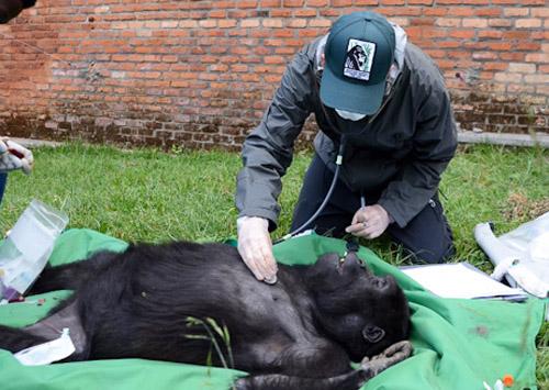 Θετικοί στο covid19 βρέθηκαν Γορίλες σε ζωολογικό κήπο του Σαν Ντιέγκο