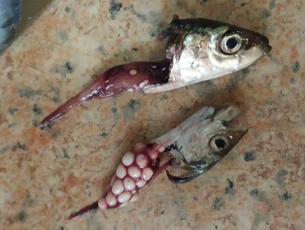 Σαρδέλες με κακοήθη όγκους σε ψαραγορά της Θεσσαλονίκης…